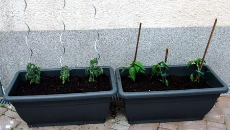 20110517-Gartenarbeit02-Tomaten