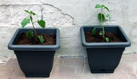 20110517-Gartenarbeit02-physalis
